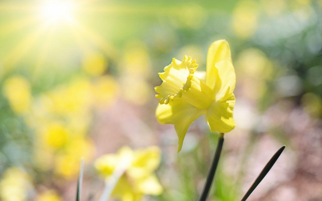 Annual Daffodil Show